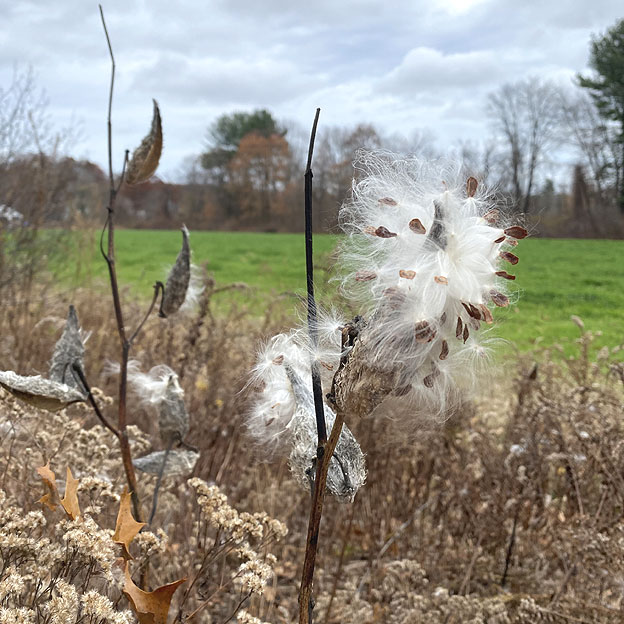 Thistle on Conservation Land